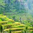 Ricce terrace of Bali Island, Indonesia — Stock Photo #34263805