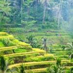 Ricce terrace of Bali Island, Indonesia — Stock fotografie