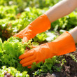 Woman in orange gloves working in the garden — Photo
