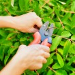 Stock Photo: Pruning leaves with garden pruner