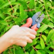 Pruning leaves with garden pruner — Stock Photo #39431955