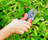 Pruning leaves with garden pruner — Stock Photo