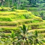 Ricce terrace of Bali Island, Indonesia — ストック写真