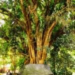 Old banyan tree — Stock Photo #40059587