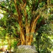 Stock Photo: Old banytree