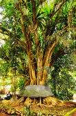 Old banyan tree — Stock Photo