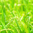 Green rice field. — Stock Photo