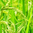 Green rice field. — Stock Photo #43700025