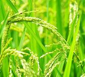 Groene rijst veld. — Stockfoto