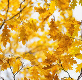 Yellow oak leaves in fall season — Stock Photo
