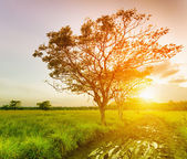 A tree at sunset time. Summer landscape — Stock Photo
