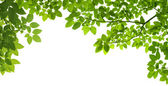Panoramic Green leaves on white background — Stok fotoğraf