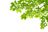 Green leaves on white background — Stock Photo