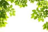 绿色的树叶背景 — 图库照片