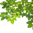 Green Leaves on white background — Stock Photo #50444469