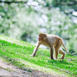 Macaque — Stockfoto