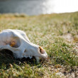 Scull — Stock Photo #13632834