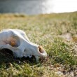Scull - Stock Photo