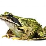 Frog — Stock Photo #14034418