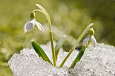 Snowdrop — Stock Photo