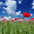 Poppy — Stock Photo #30106475