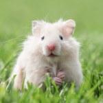 Hamster — Stock Photo #30106797