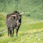 Bull — Stock Photo #30461507