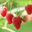 Raspberry — Stock Photo #31389499
