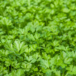 Parsley — Stock Photo #31578577