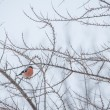 Bullfinch — Stock Photo