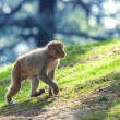 Macaque — Stockfoto #40360753