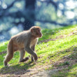 Stock Photo: Macaque