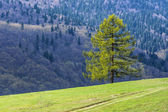 Larch — Stock Photo