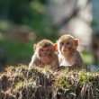 Macaque — Stockfoto #41349103