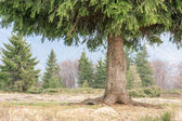 Firtree — Stock Photo