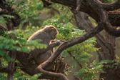 Macaca — Foto Stock