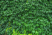 A ivy — Stock Photo