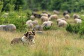 Shepherd — Stock Photo