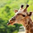Royalty-Free Stock Photo: Giraffe