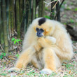 White cheeked gibbon - Stock Photo