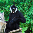White cheek gibbon - Photo