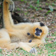 White cheeked gibbon — Stock Photo