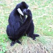 White cheeked gibbon — Foto Stock
