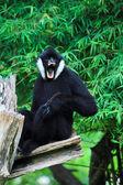 White cheek gibbon — Stock Photo