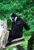 White cheeked gibbon — Photo