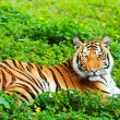 Stock Photo: Bengal tiger