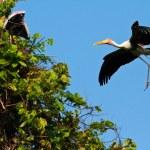 Painted stork — Stock Photo
