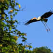 Painted stork — Stock Photo #14970055