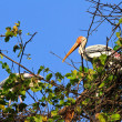 Stock Photo: Painted stork