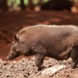Wild boar - Foto Stock
